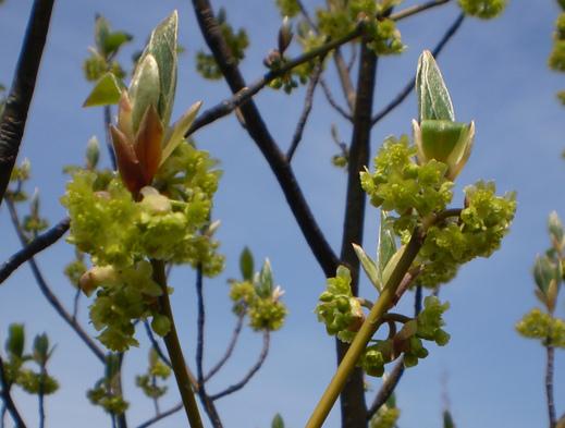 クロモジの花は、葉っぱとともに!_f0139333_2241774.jpg