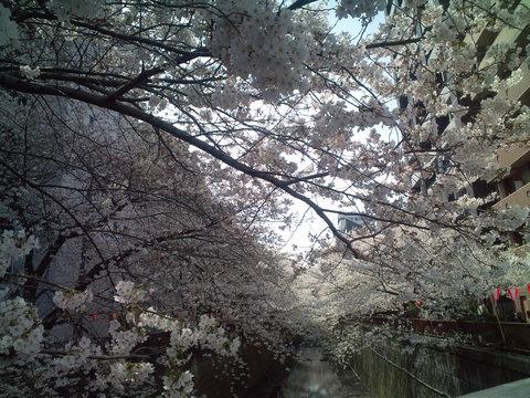 中目黒桜前線2011_e0173239_13483841.jpg