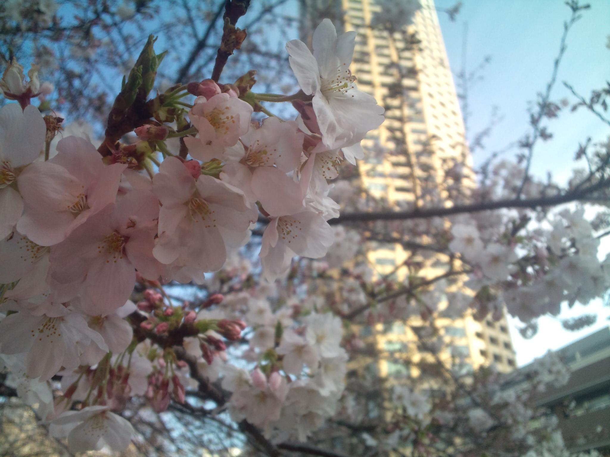 中目黒桜前線2011_e0173239_13505656.jpg