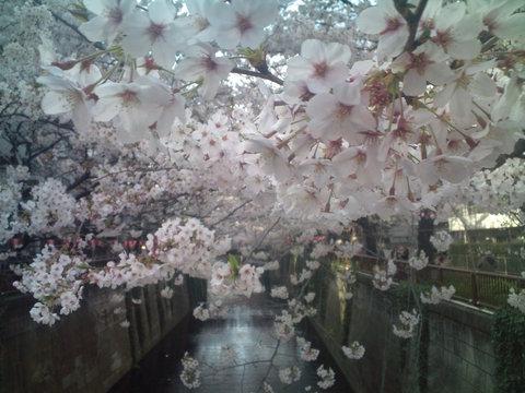 中目黒桜前線2011_e0173239_13593967.jpg