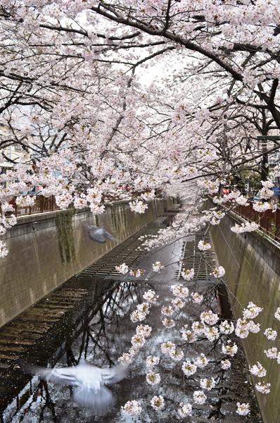 目黒川桜まつり_a0003650_2150495.jpg