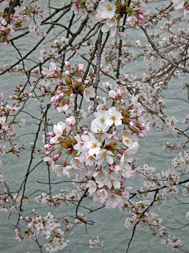 4月9日 雨中の桜_a0001354_2050313.jpg