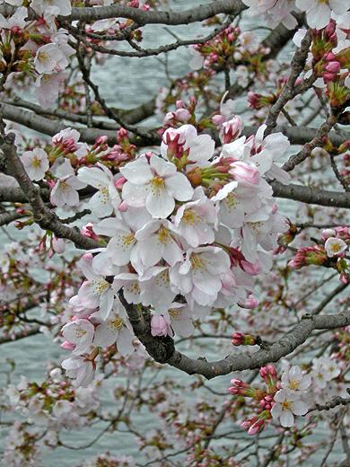 4月9日 雨中の桜_a0001354_20505570.jpg