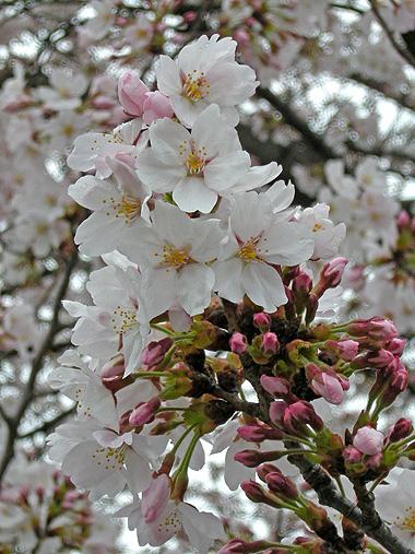4月9日 雨中の桜_a0001354_20512464.jpg