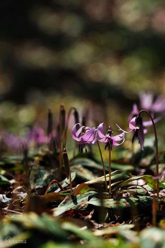 カタクリの花・・_c0124055_21104310.jpg