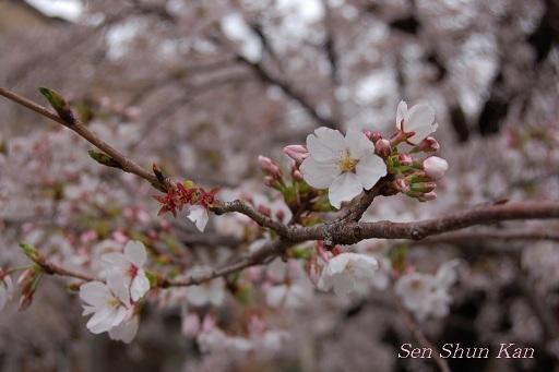 賀茂川の桜  2011年4月_a0164068_22214699.jpg