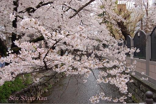 賀茂川の桜  2011年4月_a0164068_22224652.jpg