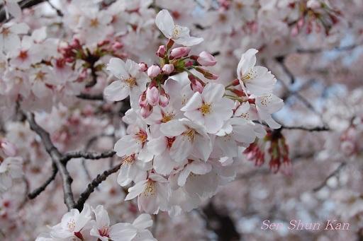 賀茂川の桜  2011年4月_a0164068_22242951.jpg