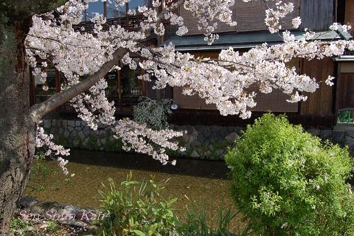 賀茂川の桜  2011年4月_a0164068_22245113.jpg