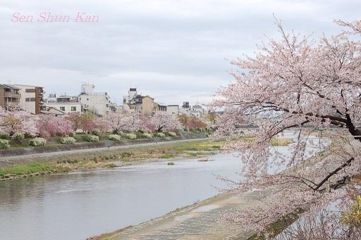 賀茂川の桜  2011年4月_a0164068_22314938.jpg