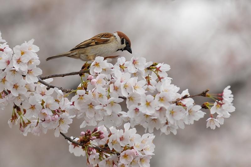桜とスズメ_f0053272_22225660.jpg
