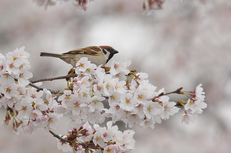 桜とスズメ_f0053272_22232668.jpg