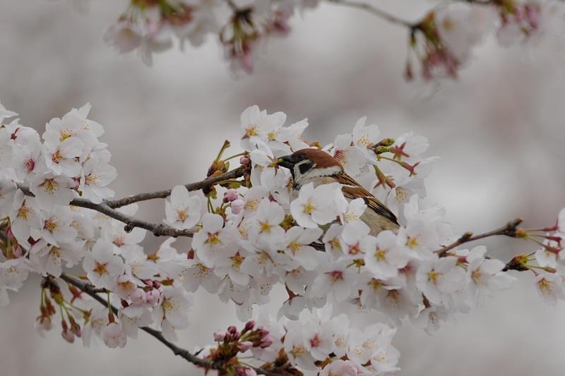 桜とスズメ_f0053272_22272840.jpg