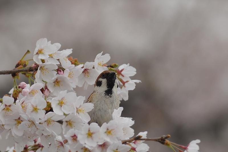 桜とスズメ_f0053272_2228213.jpg