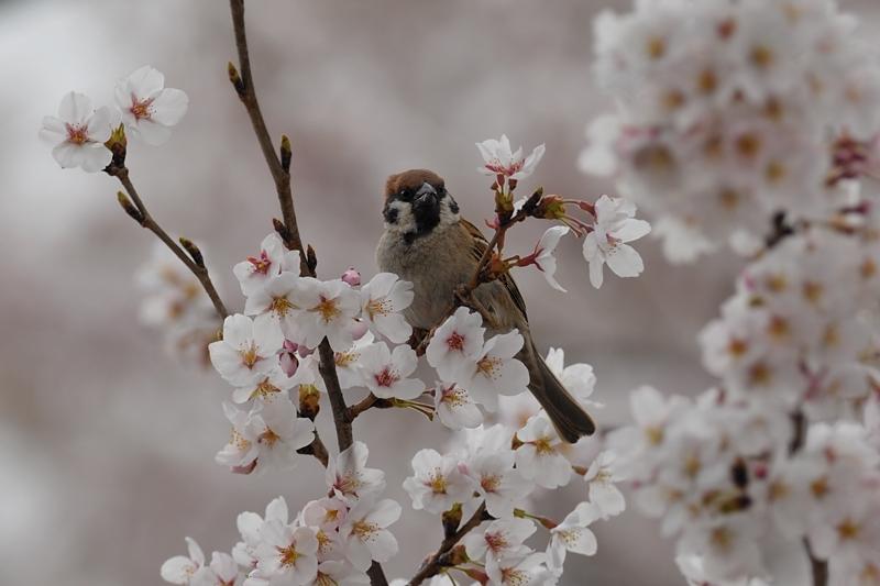 桜とスズメ_f0053272_22282739.jpg