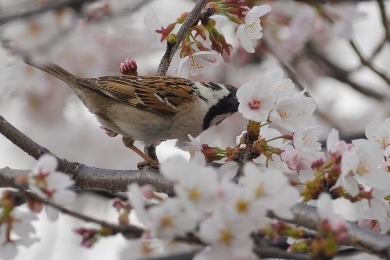 桜とスズメ_f0053272_2229207.jpg