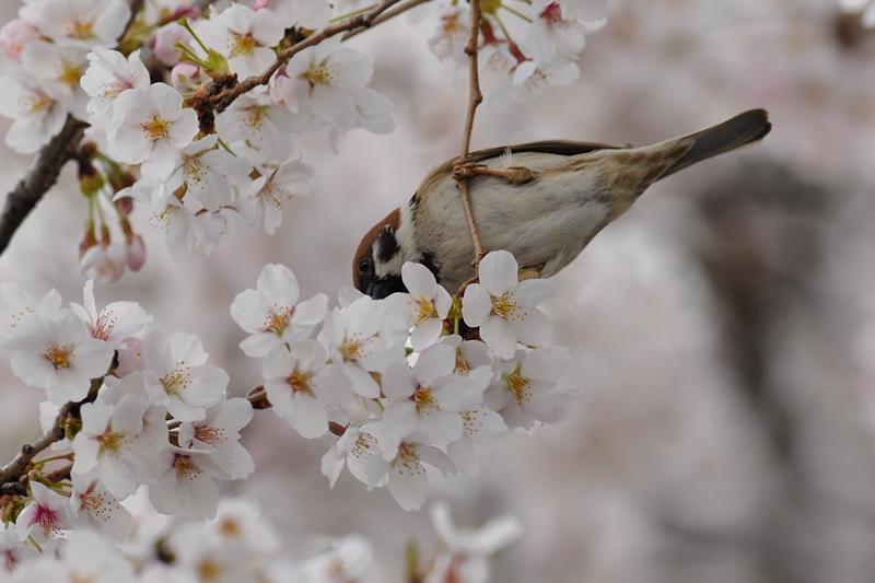 桜とスズメ_f0053272_22294389.jpg