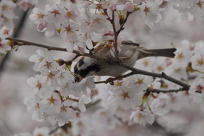 桜とスズメ_f0053272_22303148.jpg