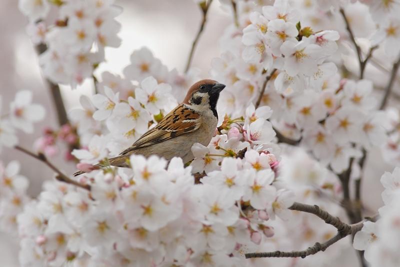 桜とスズメ_f0053272_22321454.jpg