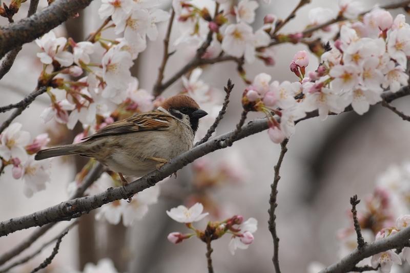 桜とスズメ_f0053272_22331524.jpg