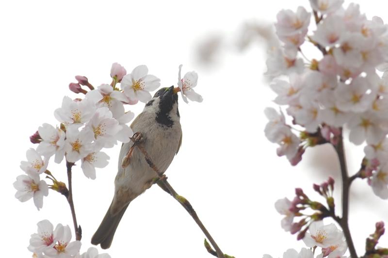 桜とスズメ_f0053272_22352955.jpg