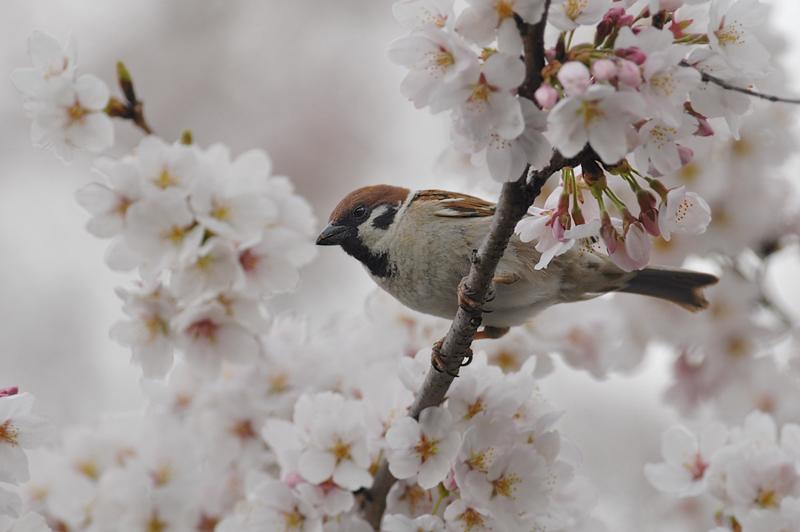 桜とスズメ_f0053272_22382763.jpg