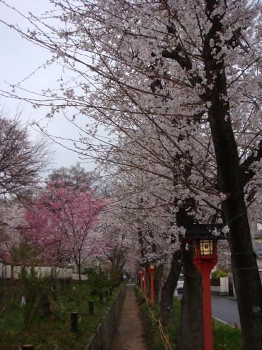 桜(その④)_f0201286_1071016.jpg