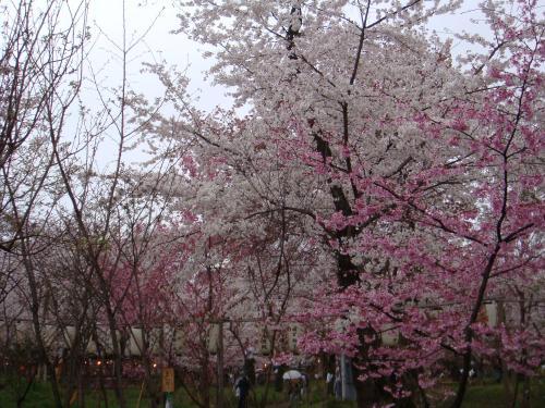 桜(その④)_f0201286_1073040.jpg