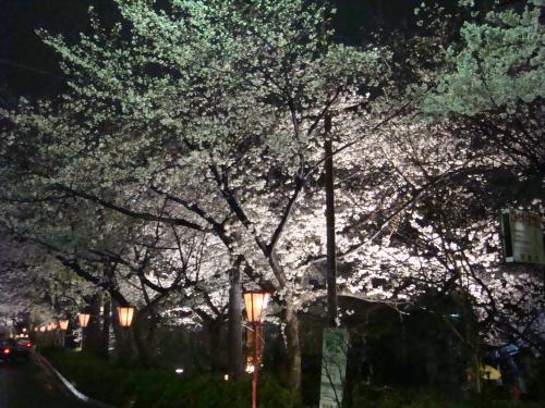 桜(その④)_f0201286_1094192.jpg