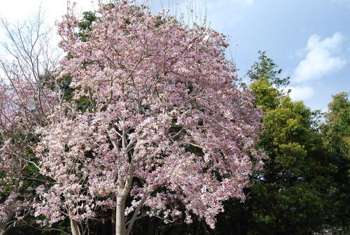 真鶴で しだれ桜に やっと会え_f0101201_21195516.jpg