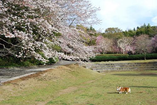 真鶴で しだれ桜に やっと会え_f0101201_21223238.jpg