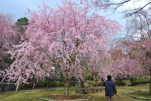 真鶴で しだれ桜に やっと会え_f0101201_21235090.jpg