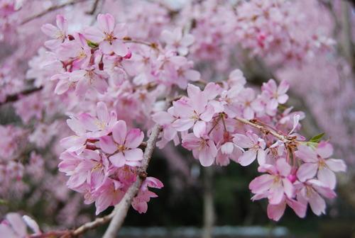 真鶴で しだれ桜に やっと会え_f0101201_21251169.jpg