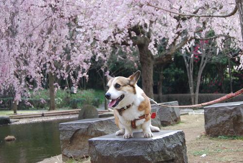 真鶴で しだれ桜に やっと会え_f0101201_21273825.jpg