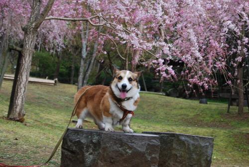 真鶴で しだれ桜に やっと会え_f0101201_2127446.jpg