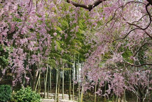 真鶴で しだれ桜に やっと会え_f0101201_21294027.jpg