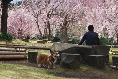 真鶴で しだれ桜に やっと会え_f0101201_21304357.jpg