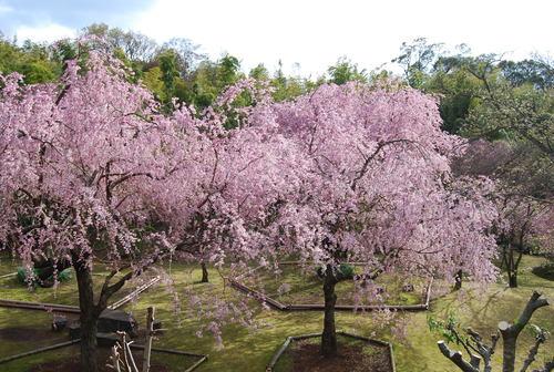 真鶴で しだれ桜に やっと会え_f0101201_213133.jpg