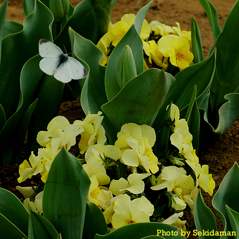 花あるとこ、そこに蝶あらわる_b0189104_21153357.jpg