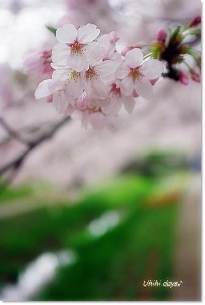 桜のトンネルとチューリップ_f0179404_20111725.jpg