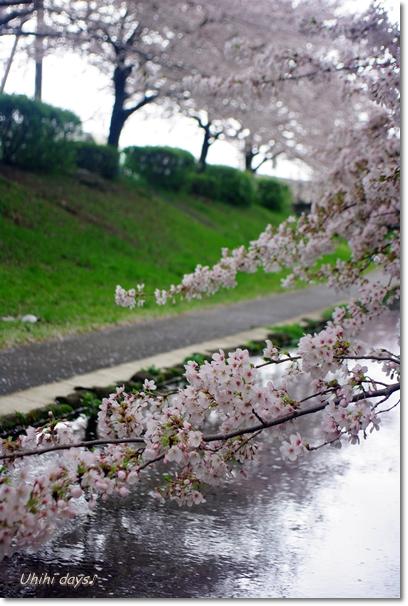 桜のトンネルとチューリップ_f0179404_2012251.jpg
