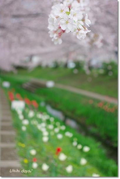 桜のトンネルとチューリップ_f0179404_20134884.jpg