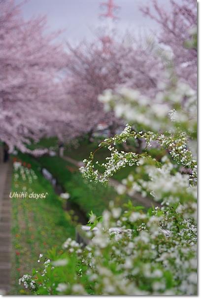 桜のトンネルとチューリップ_f0179404_20141849.jpg