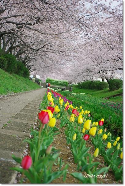 桜のトンネルとチューリップ_f0179404_2015054.jpg