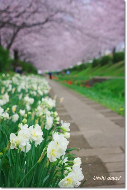 桜のトンネルとチューリップ_f0179404_20153446.jpg