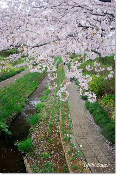 桜のトンネルとチューリップ_f0179404_20164811.jpg