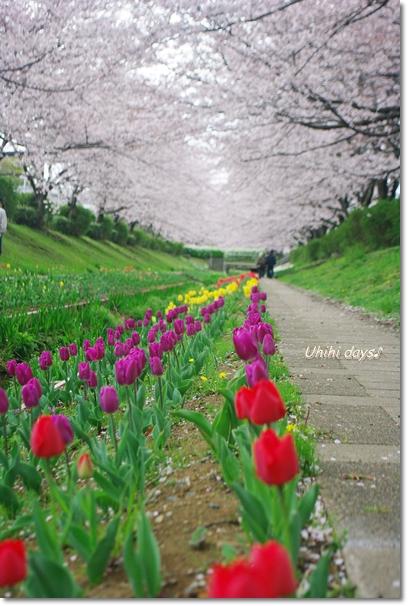 桜のトンネルとチューリップ_f0179404_2063397.jpg