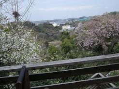 桜咲く_e0087805_11405441.jpg