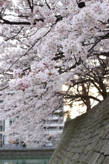桜通信 from福井_f0229508_1832311.jpg