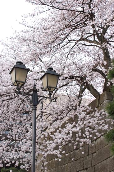 桜通信 from福井_f0229508_1833778.jpg